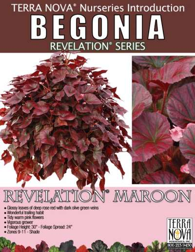 Begonia REVELATION® Maroon - Product Profile