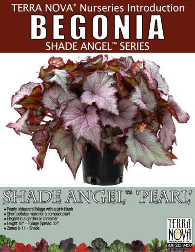 Begonia SHADE ANGEL™ 'Pearl' - Product Profile