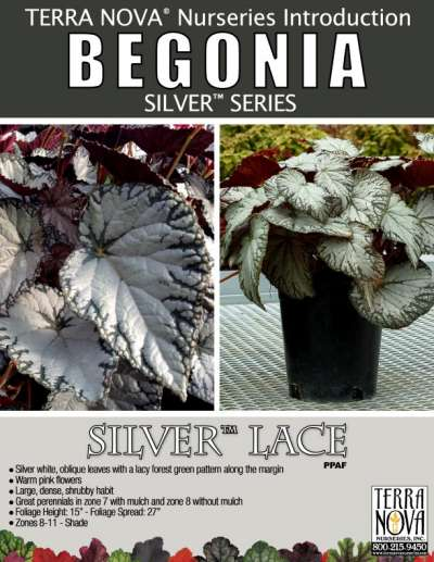 Begonia SILVER™ Lace - Product Profile