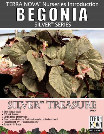 Begonia SILVER™ Treasure - Product Profile