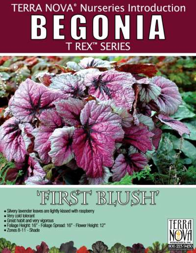 Begonia T REX™ 'First Blush' - Product Profile