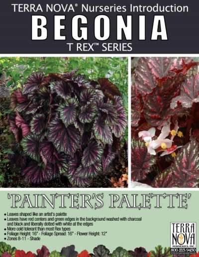 Begonia T REX™ 'Painter's Palette' - Product Profile
