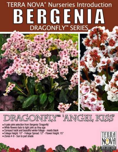 Bergenia DRAGONFLY™ 'Angel Kiss' - Product Profile