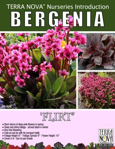 Bergenia 'Flirt' - Product Profile