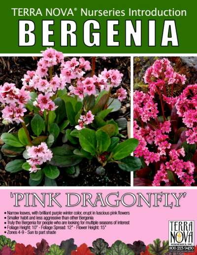 Bergenia 'Pink Dragonfly' - Product Profile