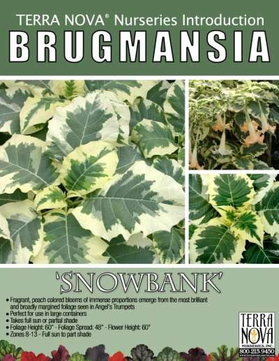 Brugmansia 'Snowbank' - Product Profile