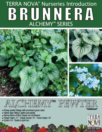 Brunnera ALCHEMY™ Pewter - Product Profile