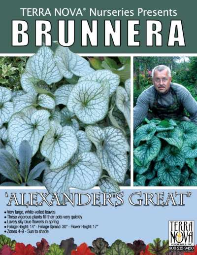 Brunnera 'Alexander's Great' - Product Profile