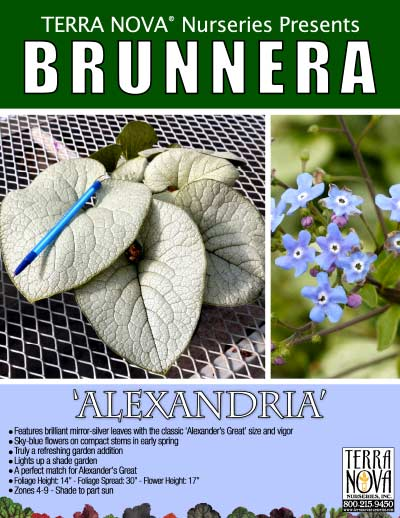 Brunnera 'Alexandria' - Product Profile
