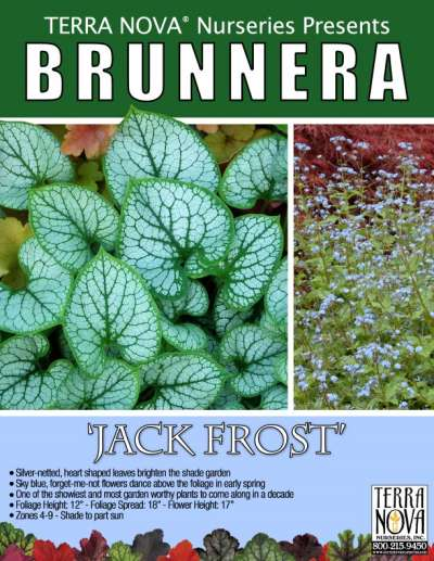 Brunnera 'Jack Frost' - Product Profile