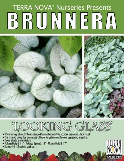 Brunnera 'Looking Glass' - Product Profile