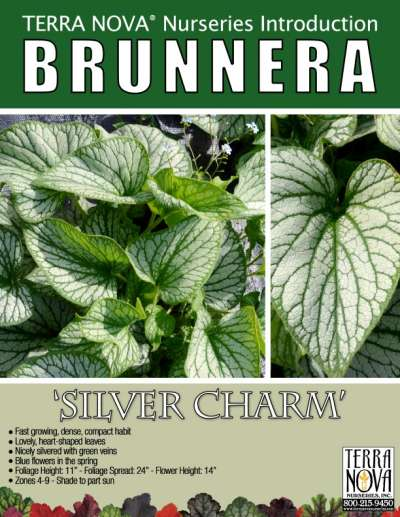 Brunnera 'Silver Charm' - Product Profile