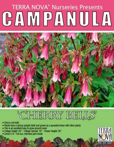 Campanula 'Cherry Bells' - Product Profile