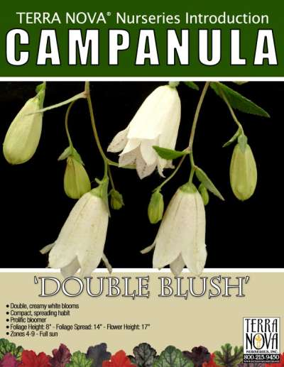 Campanula 'Double Blush' - Product Profile