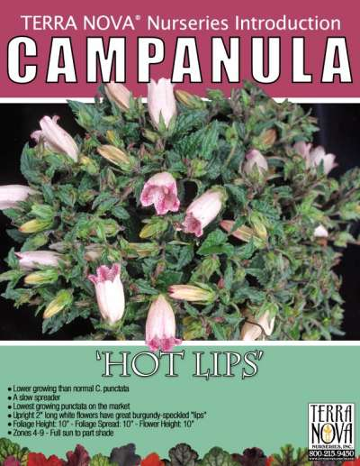 Campanula 'Hot Lips' - Product Profile