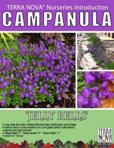 Campanula 'Jelly Bells' - Product Profile