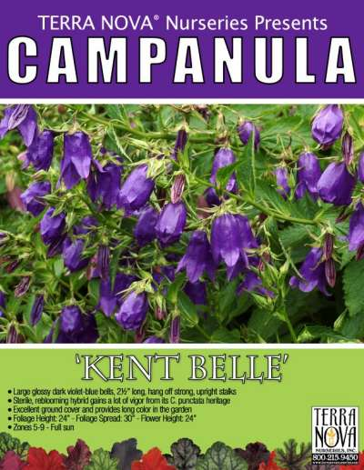 Campanula 'Kent Belle' - Product Profile