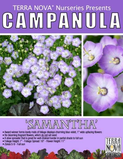 Campanula 'Samantha' - Product Profile