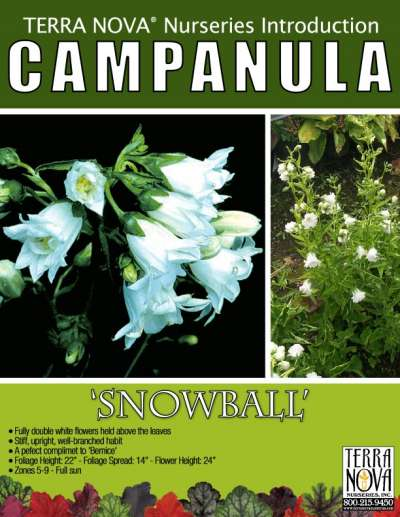 Campanula 'Snowball' - Product Profile