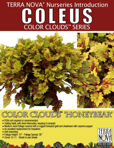 Coleus COLOR CLOUDS™ 'Honeybear' - Product Profile