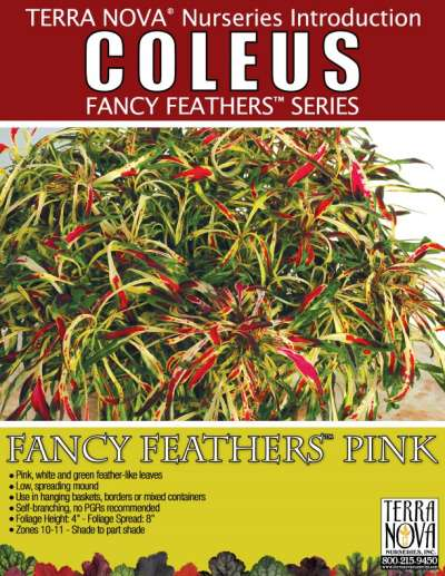 Coleus FANCY FEATHERS™ Pink - Product Profile