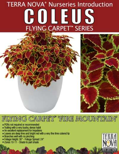 Coleus FLYING CARPET™ 'Fire Mountain' - Product Profile