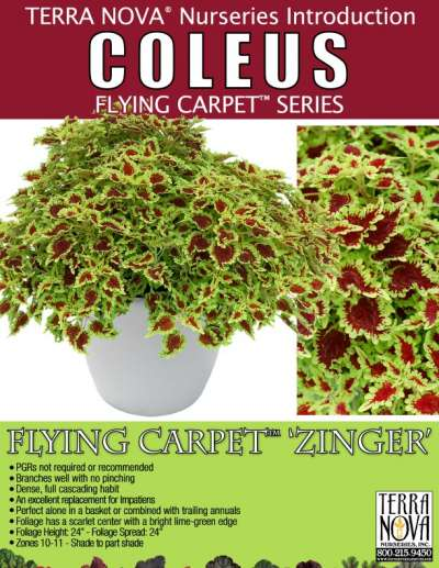 Coleus FLYING CARPET™ 'Zinger' - Product Profile