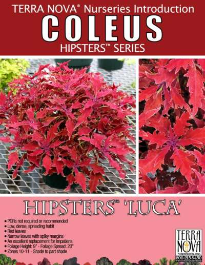 Coleus HIPSTERS™ 'Luca' - Product Profile