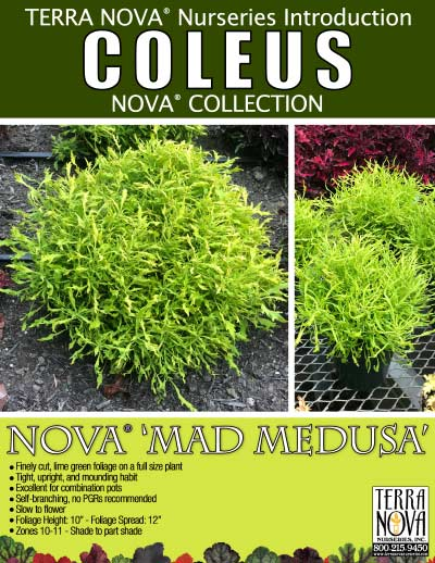 Coleus NOVA® 'Mad Medusa' - Product Profile
