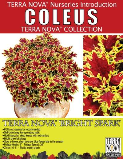 Coleus TERRA NOVA® 'Bright Spark' - Product Profile