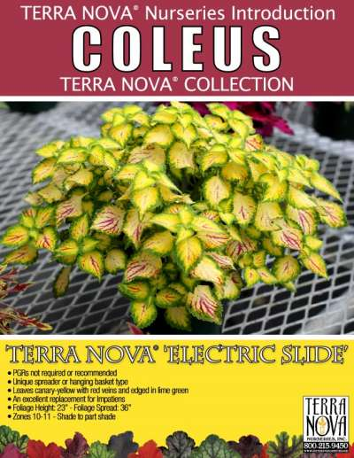Coleus TERRA NOVA® 'Electric Slide' - Product Profile