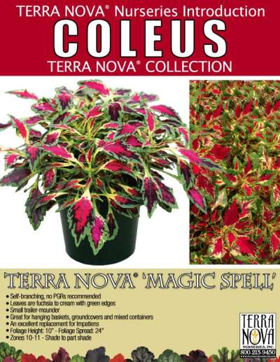 Coleus TERRA NOVA® 'Magic Spell' - Product Profile