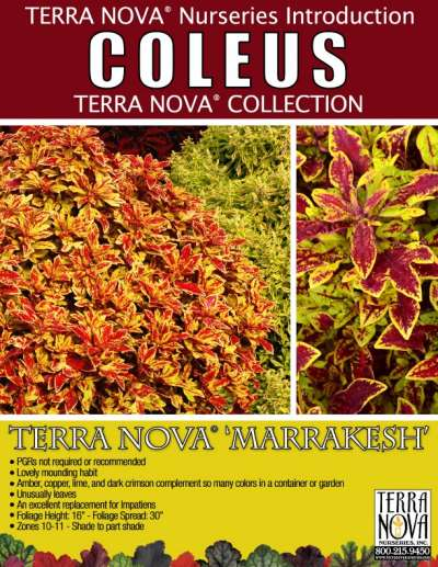 Coleus TERRA NOVA® 'Marrakesh' - Product Profile
