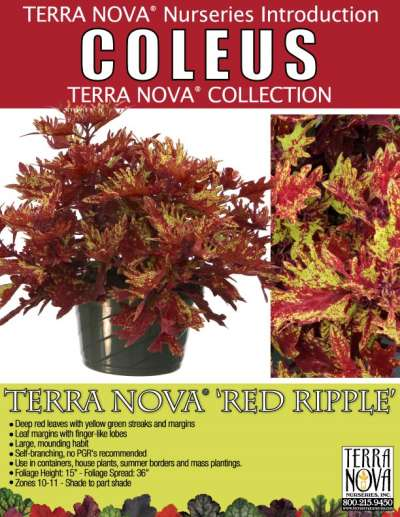 Coleus TERRA NOVA® 'Red Ripple' - Product Profile
