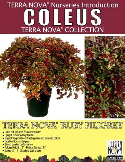Coleus TERRA NOVA® 'Ruby Filigree' - Product Profile