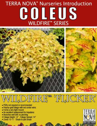 Coleus WILDFIRE™ 'Flicker' - Product Profile
