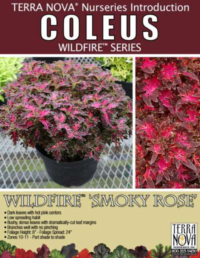 Coleus WILDFIRE™ 'Smoky Rose' - Product Profile