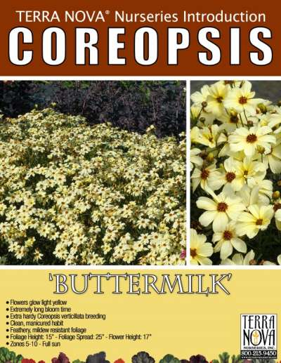 Coreopsis 'Buttermilk' - Product Profile