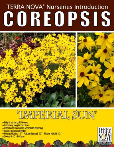 Coreopsis 'Imperial Sun' - Product Profile