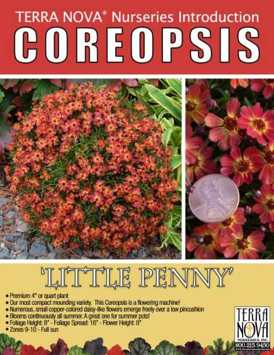 Coreopsis 'Little Penny' - Product Profile