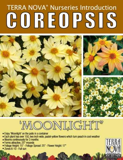 Coreopsis 'Moonlight' - Product Profile