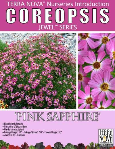 Coreopsis 'Pink Sapphire' - Product Profile