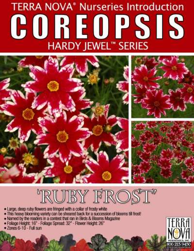 Coreopsis 'Ruby Frost' - Product Profile