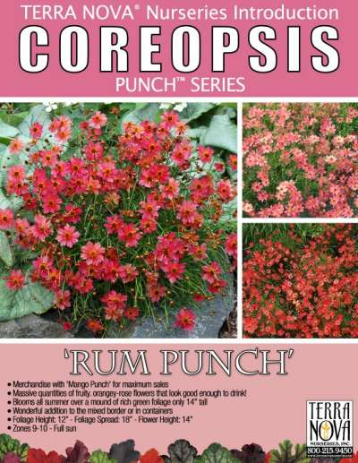 Coreopsis 'Rum Punch' - Product Profile