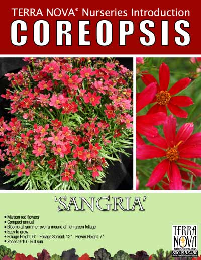 Coreopsis 'Sangria' - Product Profile