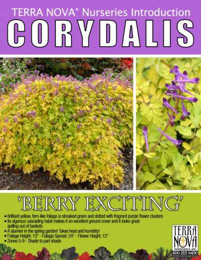 Corydalis 'Berry Exciting' - Product Profile