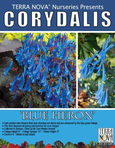 Corydalis 'Blue Heron' - Product Profile