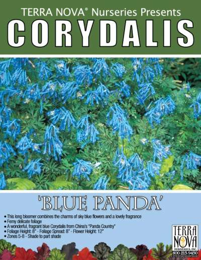 Corydalis 'Blue Panda' - Product Profile
