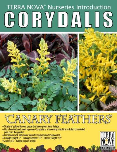 Corydalis 'Canary Feathers' - Product Profile