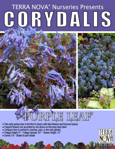 Corydalis 'Purple Leaf' - Product Profile
